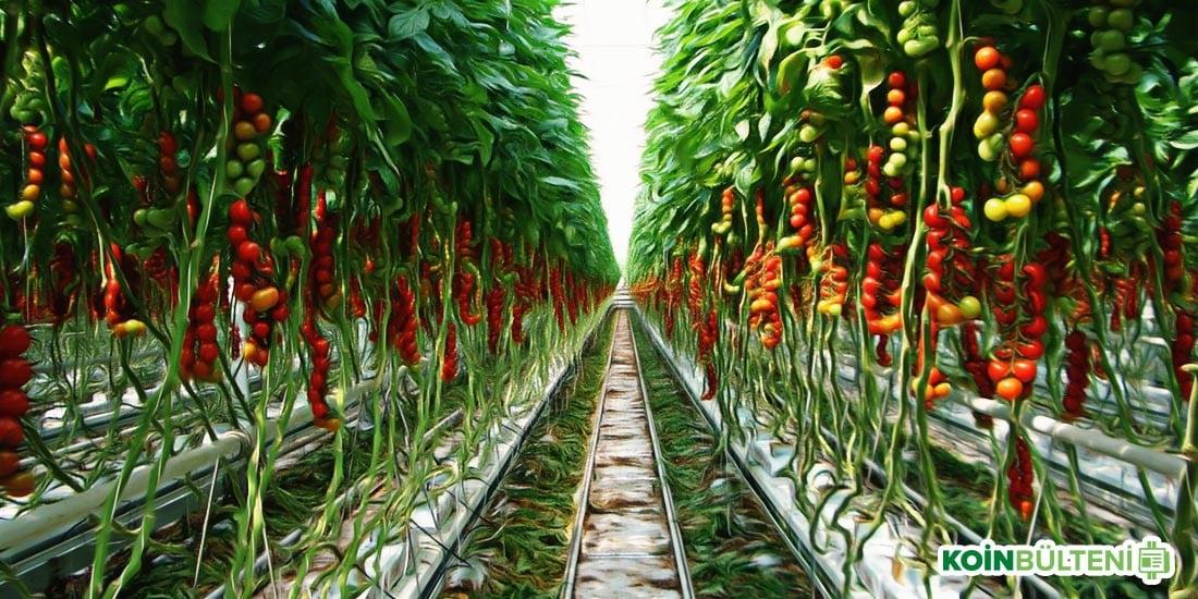 bitcoin madenciliği domates yetiştirme